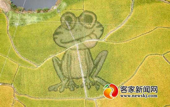 球场大的 巨型青蛙 现身宁都县水稻田
