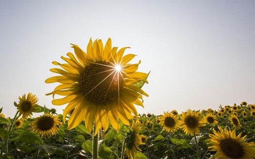 繽紛夏日 向陽花開