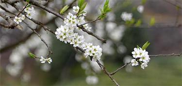花開春茶香