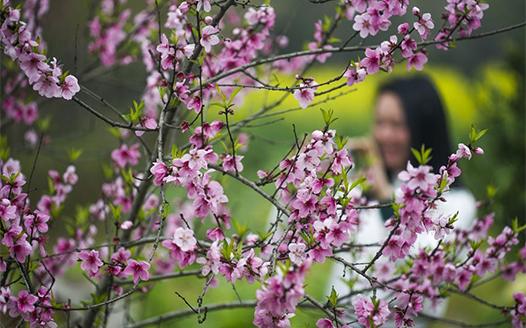 春暖花開迎客來