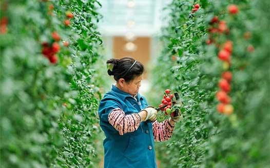 江西全南:探訪高山蔬菜種植地