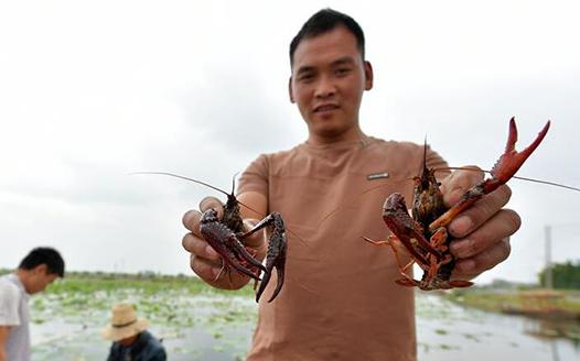 鲜活小龙虾上市 特色养殖富农家