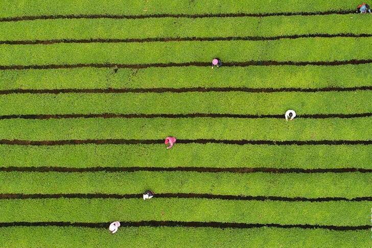 江西浮梁:茶葉引領致富路