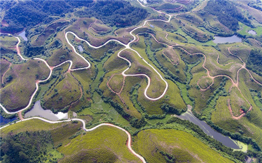 航拍江西萬安千畝茶園 曼妙曲線如大地指紋
