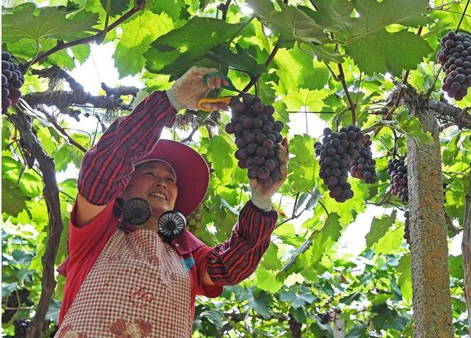 南昌:又到葡萄成熟時
