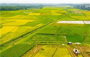 江西新余:早稻開鐮農民喜售糧