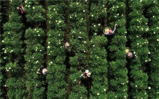 江西樂安:特色種植助推農業發展提質增效