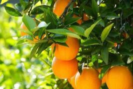 """昔日房前""""一棵苗"""" 今朝引來橙滿枝"""