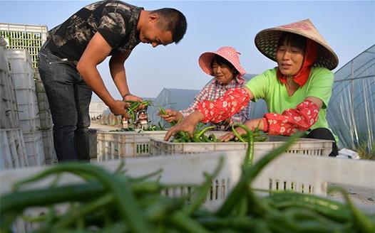 """""""農閒不閒"""":設施農業助增收"""