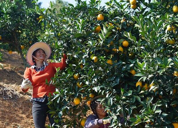贛南臍橙進入採摘期
