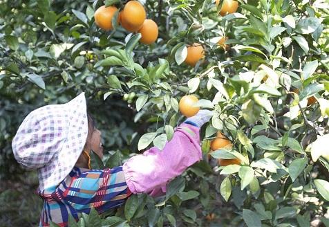 江西贛州:臍橙採摘忙