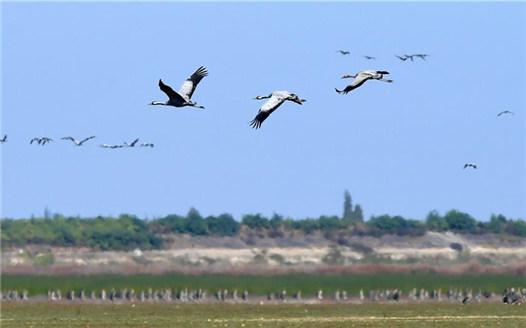 大批候鳥飛抵鄱陽湖越冬