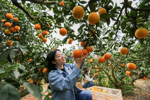 江西萬安:臍橙豐收 農戶增收