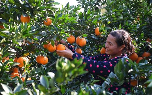 贛南臍橙贛北種 修水臍橙進入採摘旺季