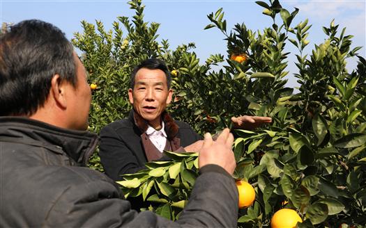 """臍橙種植""""土專家""""龔勇:用技術帶領鄉親們過上好日子"""