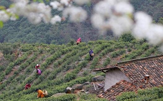 江西萬安:春茶飄香採摘忙