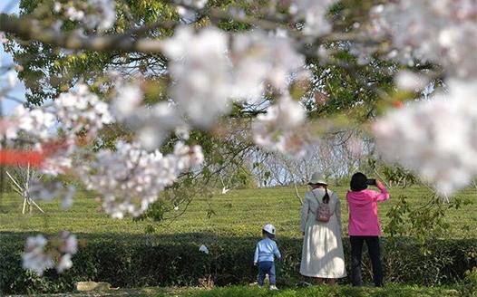櫻花綻放春意濃