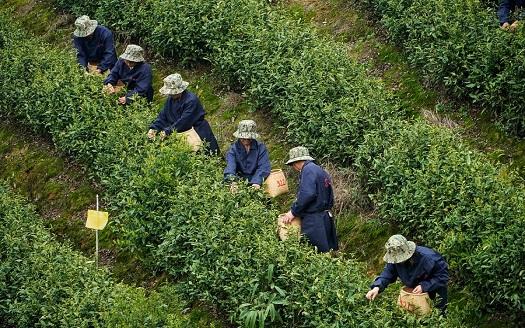 江西靖安:白茶吐新芽 茶人採茶忙