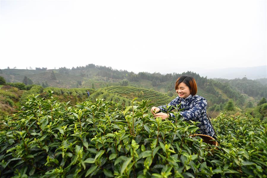 江西靖安:春日採茶忙
