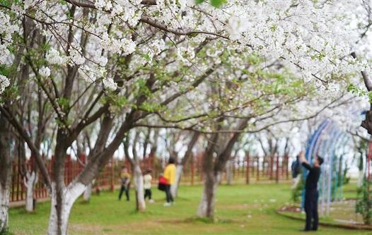 春日櫻花次第開