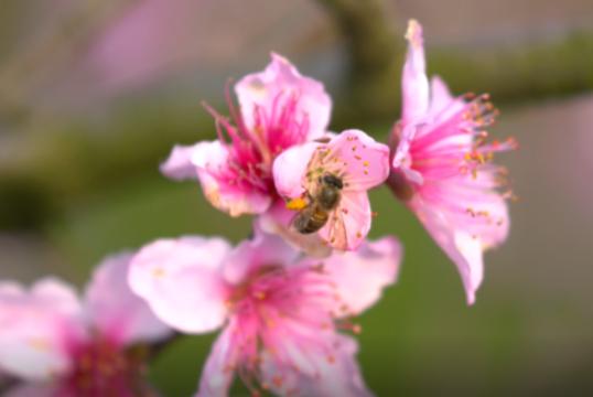 江西泰和:三月春光濃 十裏桃花香