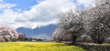 西藏林芝桃花盛開
