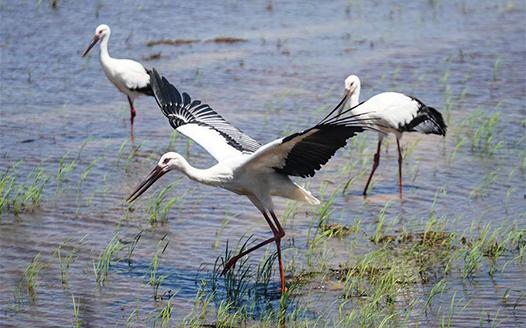 三只東方白鸛鄱陽湖畔放歸自然