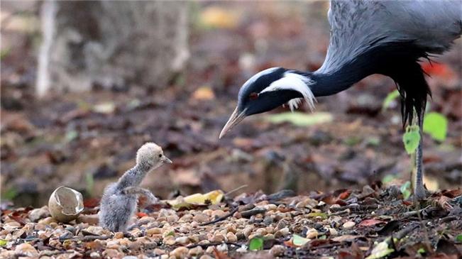 江西南昌:茁壯成長的蓑羽鶴寶寶