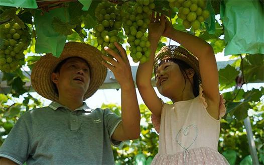 採摘葡萄農家樂