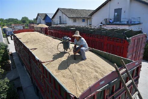 江西南昌:早稻收購 顆粒歸倉