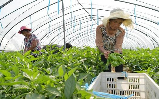南昌新建:設施農業助增收