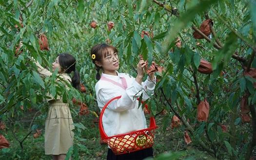 南昌:冬桃喜豐收