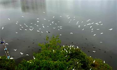 江西武寧:白鷺翩翩飛 小城添新景