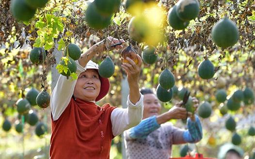 江西撫州:小瓜蔞助增收