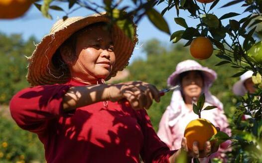 江西贛州:臍橙熟了
