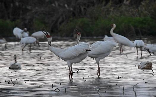 初冬鄱湖 候鳥紛至
