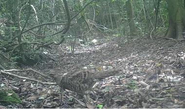 九嶺山保護區首次監測到雌性白頸長尾雉