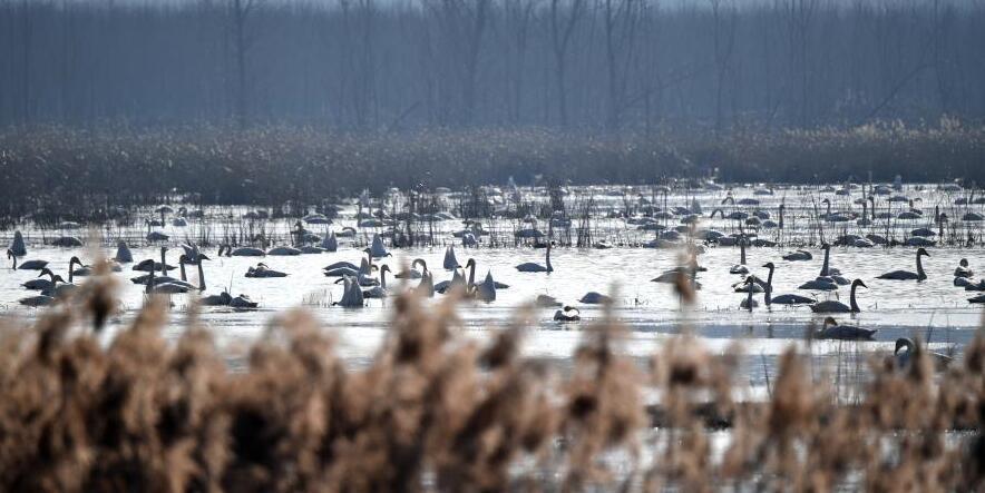 河南三門峽:天鵝與黃河的冬季之約