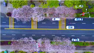 吉安:櫻花爛漫 滿城芬芳
