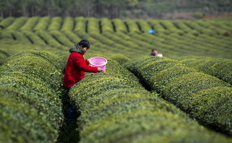 江西新余:莫負好春光 採茶正當時