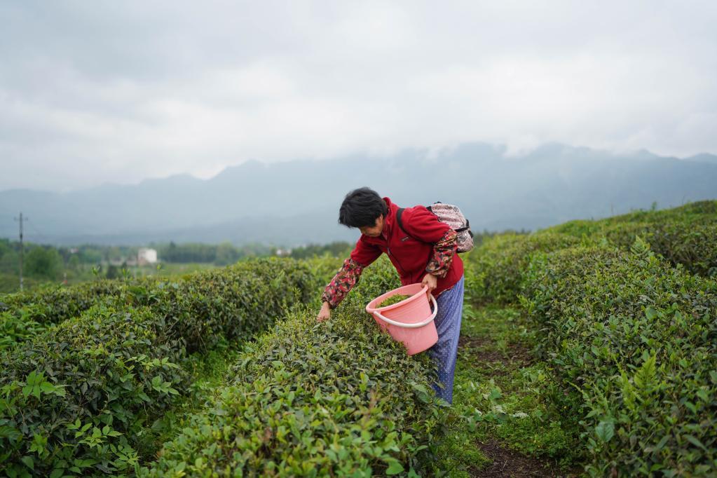 江西修水:茶農忙制茶