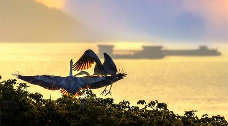 鄱陽湖畔 夏日蒼鷺舞翩躚